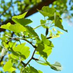 Ginkgo Leaf: Age Old Tree with Life Long Benefits