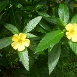 Damiana – A Gift from the Mayans